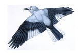 Birds: Passeriformes, Clark's Nutcracker (Nucifraga Columbiana) Giclee Print