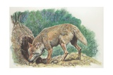 Close-Up of a Coyote Standing Near its Den (Canis Latrans) Giclee Print