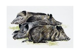 Sleeping Wild Boars or Wild Pigs (Sus Scrofa), Suidae, Drawing Giclée-tryk