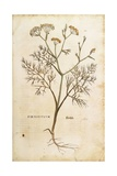 Fennel (Foeniculum Vulgare), Coloured Giclee Print