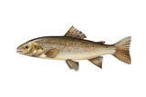 Brown Trout (Salmo Trutta) Giclee Print