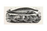 The Sea-Leopard, Sea Leopard Giclee Print
