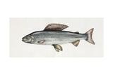 Grayling (Thymallus Thymallus), Salmonidae Impression giclée