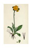 Hieracium Aurantiacum Orange Hawkweed Giclee Print