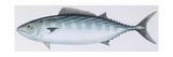 Fishes: Perciformes Scombridae - Atlantic Bonito (Sarda Sarda) Giclee Print
