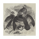 Condors at the Surrey Zoological Gardens Impression giclée