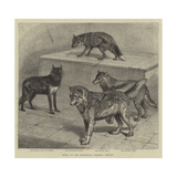 Notes at the Zoological Gardens, Wolves Giclee Print