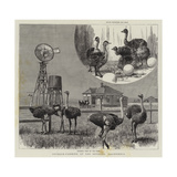 Ostrich-Farming at Los Angeles, California Lámina giclée