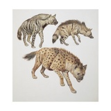 Close-Up of Three Hyena Dogs Giclee Print