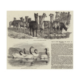 Sale of the Menagerie and Aviary at Knowsley Giclee Print