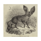 Long-Eared Fox, at the Gardens of the Zoological Society Giclee Print