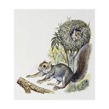 Eastern Gray Squirrel (Sciurus Carolinensis), Sciuridae Giclee Print
