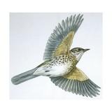 Birds: Passeriformes, Song Thrush (Turdus Philomelos) Giclee Print