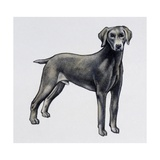 Weimaraner (Canis Lupus), Canidae, Drawing Giclee Print