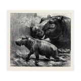 The Hippopotamus and Her Young One at the Zoological Gardens Giclee Print
