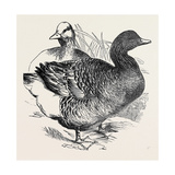 Common Goose, First Prize: Mr. Nolan Giclee Print