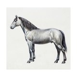 Connemara (Equus Caballus), Equidae, Drawing Giclee Print