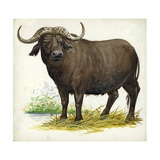 African or Cape Buffalo Syncerus Caffer Giclee Print