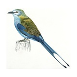 Birds: Coraciiformes, Indian Roller (Coracias Benghalensis) Giclee Print