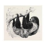 Sloth at the Zoological Gardens, Regent's Park Giclee Print