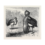 The Australian Bustard, at the Zoological Gardens, London, UK Giclee Print