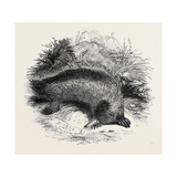 Australian Anteater, at the Gardens of the Zoological Society Giclee Print