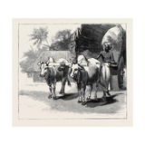Round the World Yachting in the Ceylon, Ceylon: a Bullock-Cart Giclee Print
