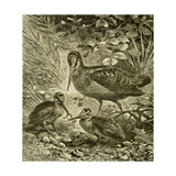 Woodcock Austria 1891 Giclee Print