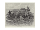 Studies from Life at the Zoological Gardens, the Red Kangaroo Giclee Print