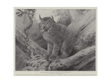 Studies from Life at the Zoological Gardens, the Canadian Lynx Giclee Print