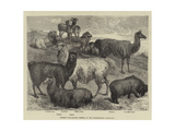 Foreign Wool-Bearing Animals at the International Exhibition Giclee Print
