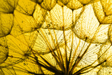 Close up of Dandelion on the Golden Background Photographic Print by  yurakp