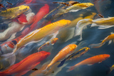 Japanese Koi Fish Photographic Print by  ookoak