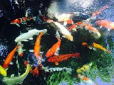 Koi Fish Photographic Print by  bennnn