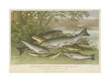 Freshwater Fish Giclee Print