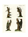 Different Kinds of Woodpecker Giclee Print