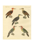Beautiful and Foreign Woodpecker Giclee Print