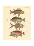 Beautiful Seabass-Like Fish Giclée-tryk