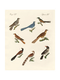 Cuckoos from Various Countries Giclee Print
