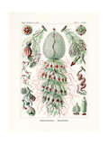 Siphonophorae, 1899-1904 Giclee Print