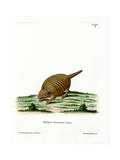 Six-Banded Armadillo Giclee Print
