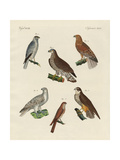 Excellent Hawks of Germany Giclee Print