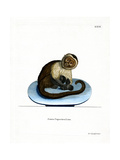 White-Headed Capuchin Giclee Print