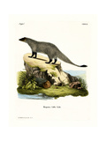 Black-Footed Mongoose Giclee Print