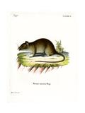 Short-Tailed Bandicoot Rat Giclee Print