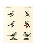 Different Kinds of Shrikes Impression giclée
