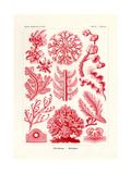 Florideae or Rhodophyceae, 1899-1904 Giclee Print