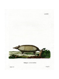 Eight-Banded Armadillo Giclee Print