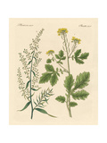 Indigenous Spice Plants Giclee Print