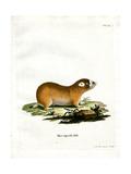 Cape Mole Rat Giclee Print